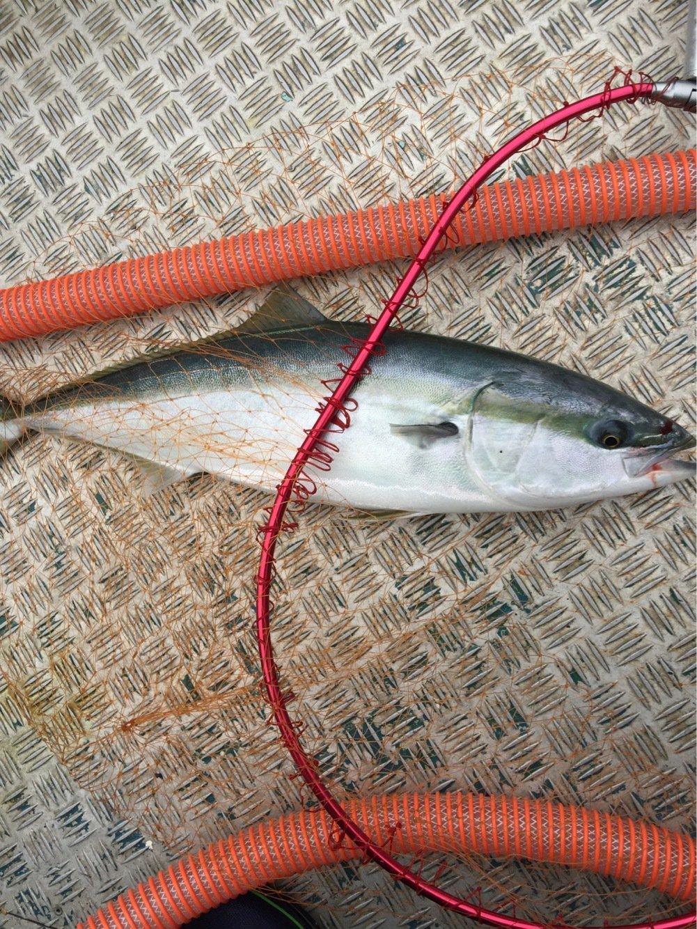 れいんぼーほたてさんの投稿画像,写っている魚はブリ