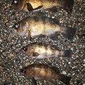 スジカイさんの富山県高岡市でのメバルの釣果写真