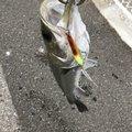 たけしさんの千葉県浦安市での釣果写真