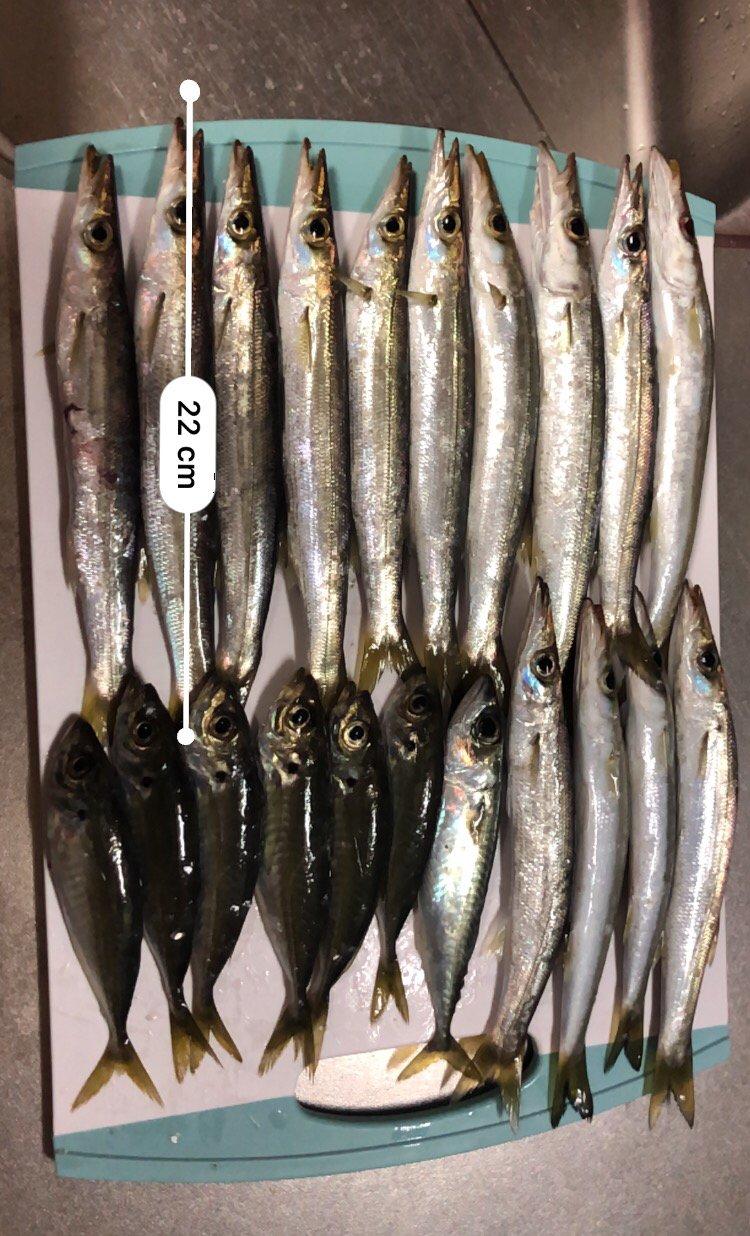 グッさんさんの投稿画像,写っている魚はカマス,アジ,マサバ