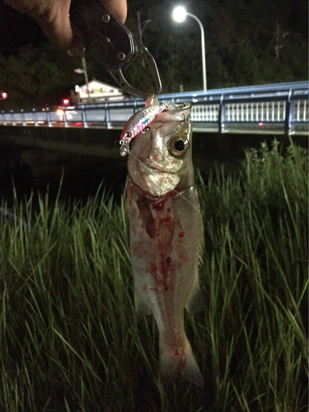 ヨウスケさんの投稿画像,写っている魚はヒラスズキ