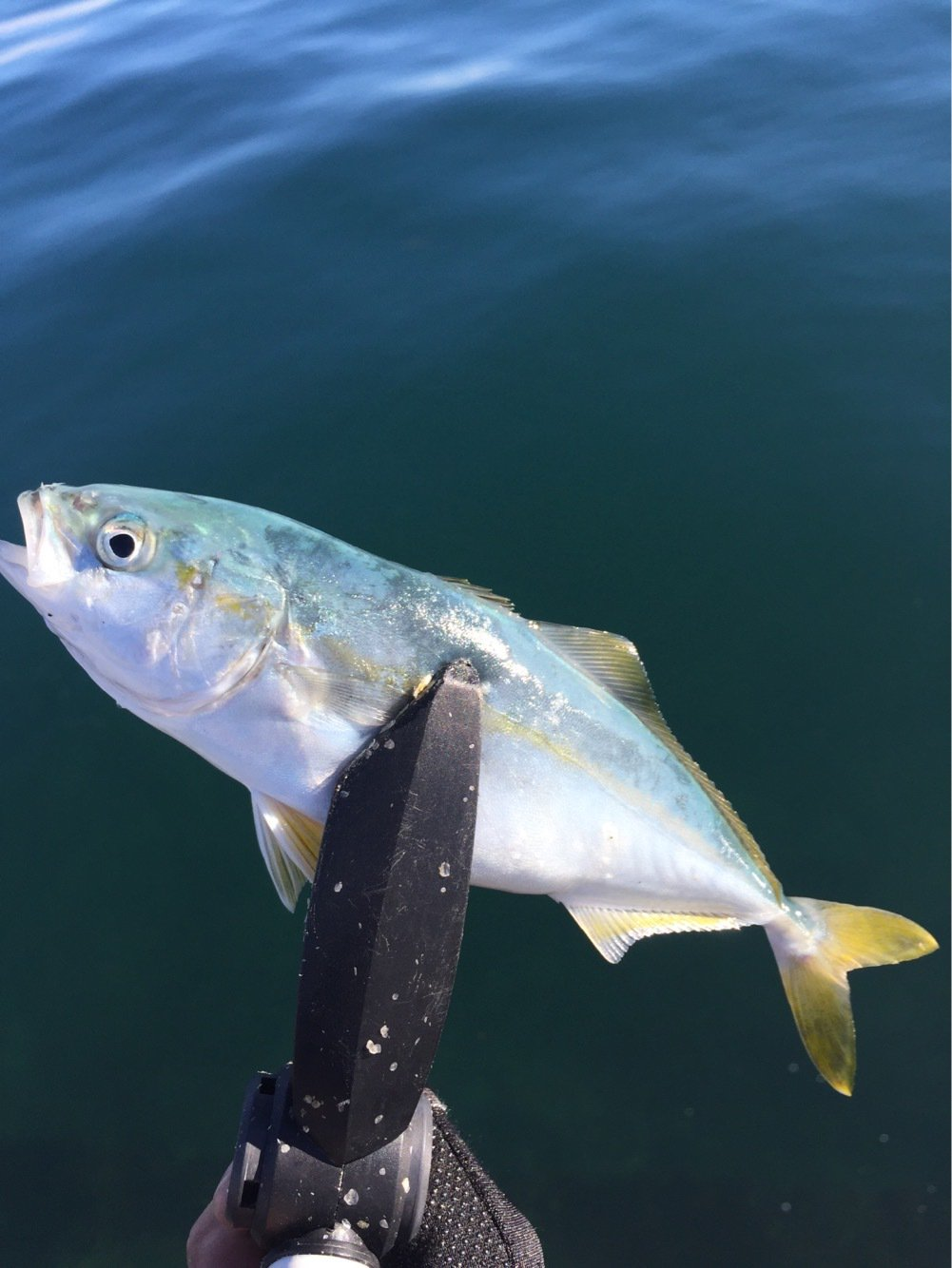 激にぼさんの投稿画像,写っている魚はブリ