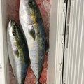 MAXさんの愛知県知多郡での釣果写真