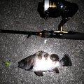 アブさんの兵庫県でのメバルの釣果写真