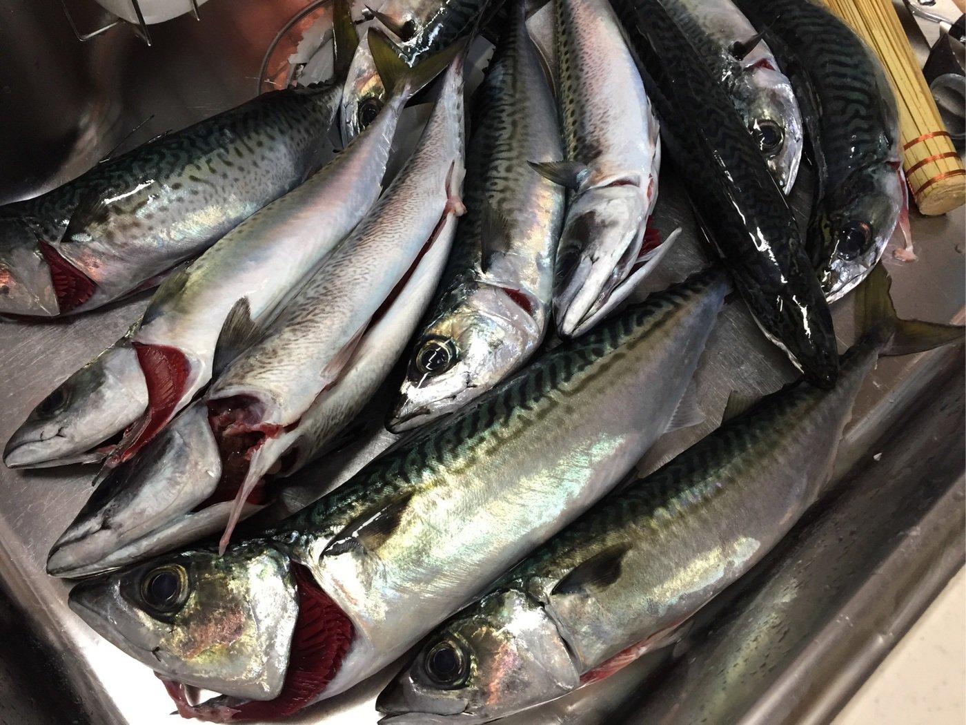 すずけんさんの投稿画像,写っている魚はマサバ