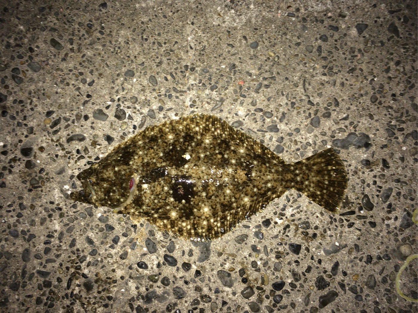 モリ男さんの投稿画像,写っている魚はヒラメ