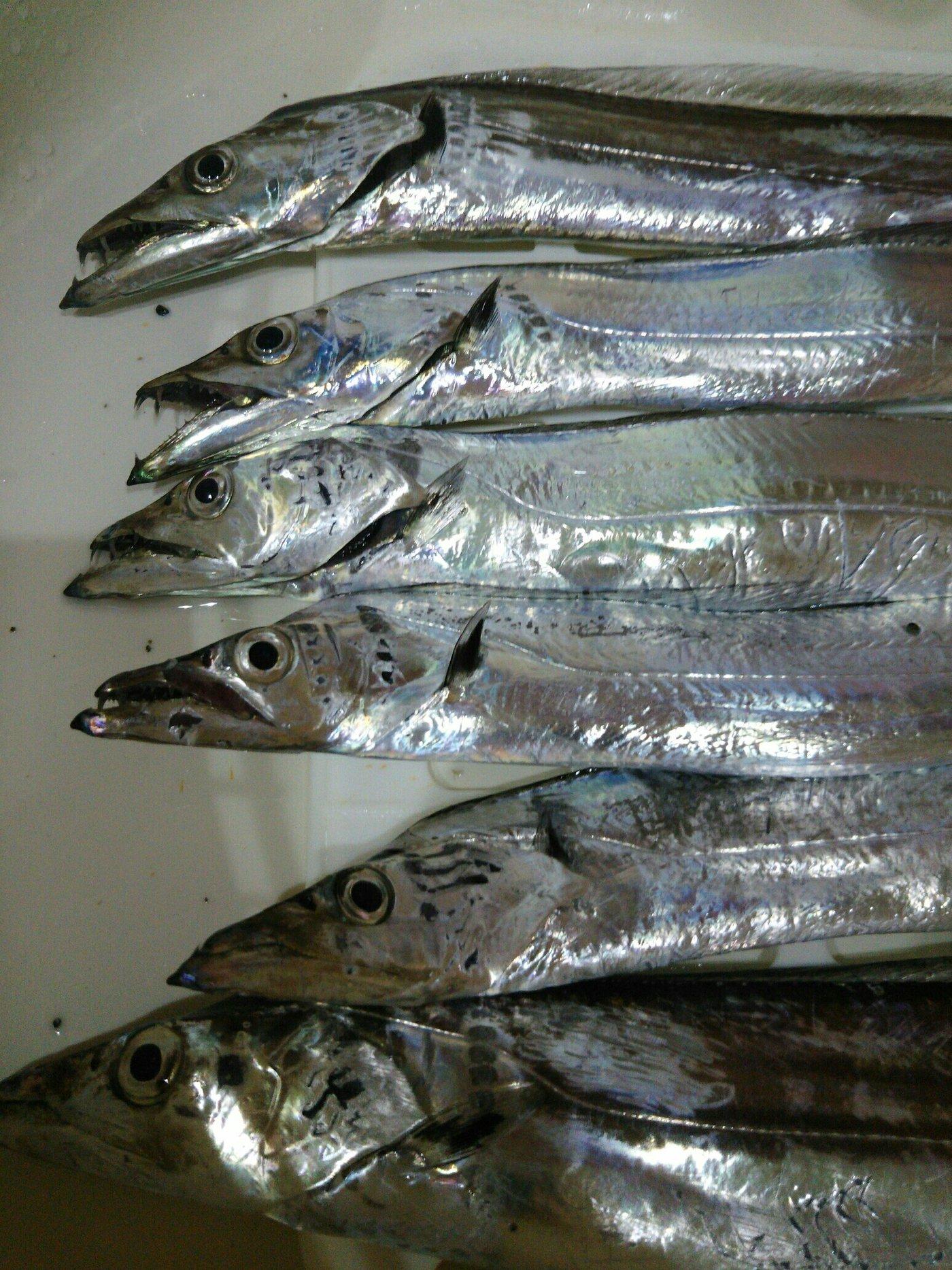 てつぶんさんの投稿画像,写っている魚はタチウオ