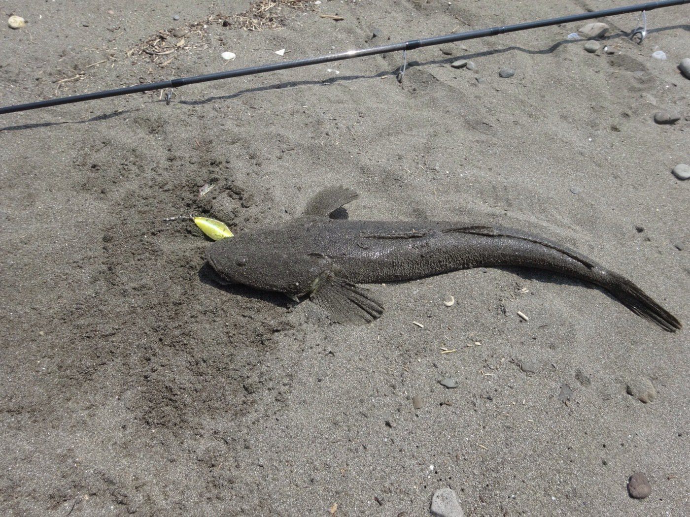 ziiさんの投稿画像,写っている魚はコチ