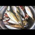 釣りバカ隼人さんの神奈川県でのアジの釣果写真