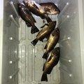 ビギナー釣り師さんの石川県鳳珠郡での釣果写真