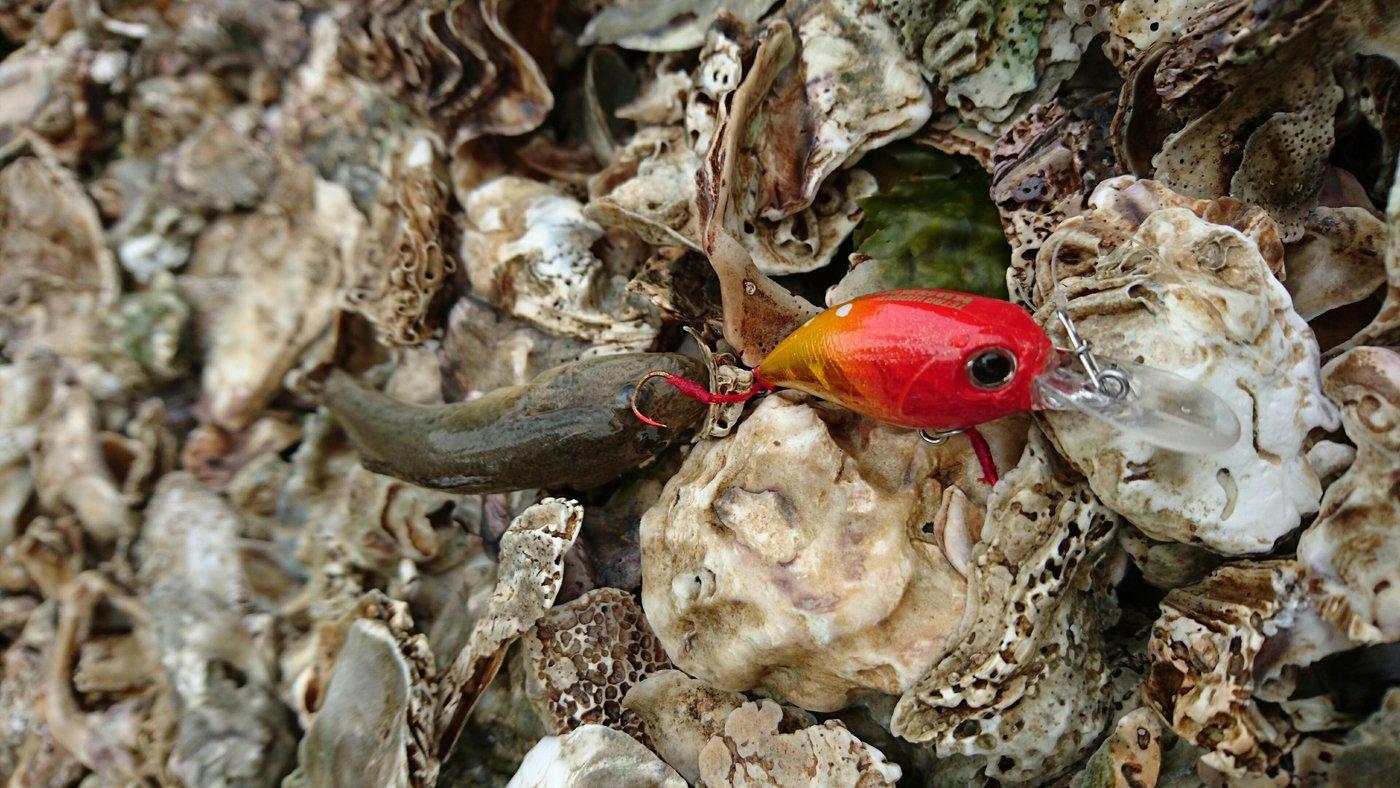 masa_KINGさんの投稿画像,写っている魚はマハゼ