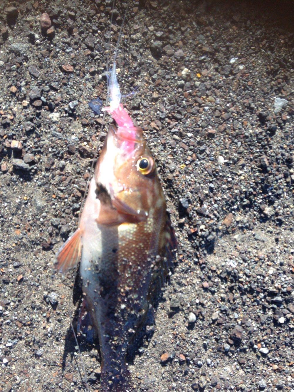 ソウさんの投稿画像,写っている魚は