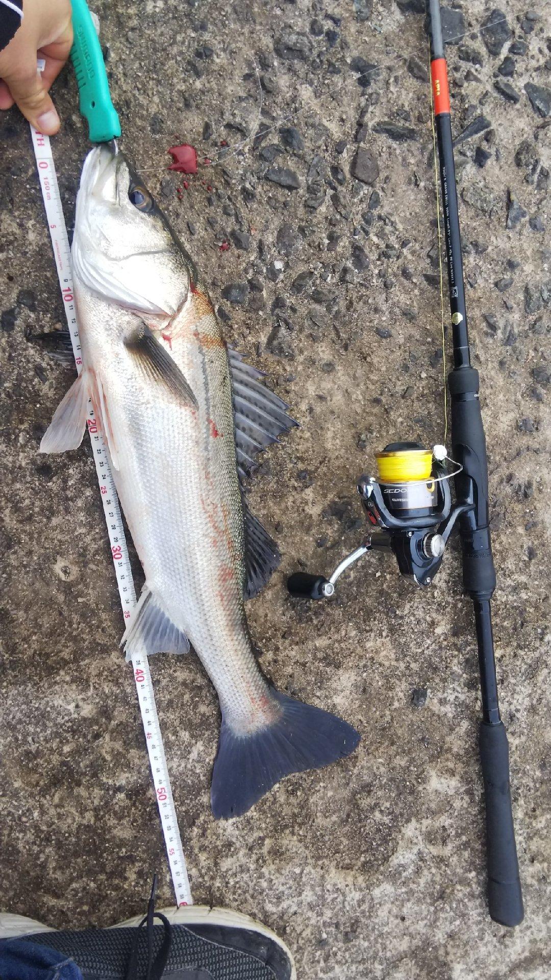 kairi218さんの投稿画像,写っている魚はスズキ