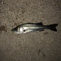 ポールさんの愛知県碧南市での釣果写真