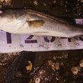 マンボウさんの千葉県市川市での釣果写真