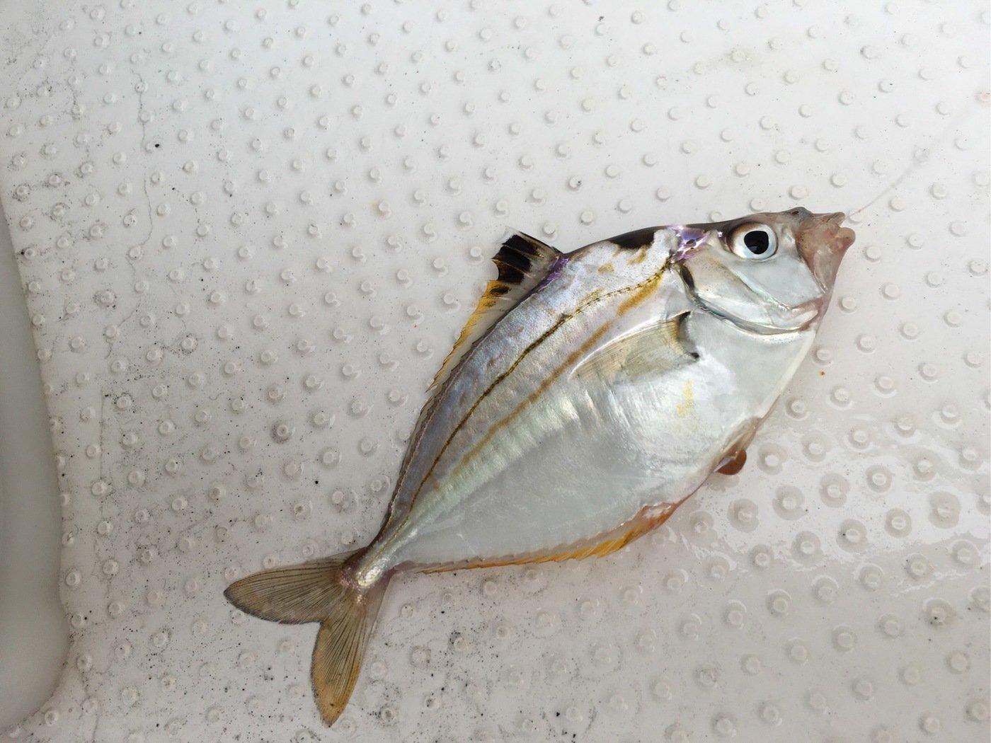 Shinさんの投稿画像,写っている魚はヒイラギ