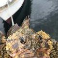 カサゴニゴさんの大分県津久見市での釣果写真