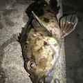 はなちゃんさんの兵庫県明石市でのカサゴの釣果写真