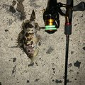 釣りにっく とみさんの愛知県でのタケノコメバルの釣果写真