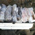 もいっかさんの大分県佐伯市での釣果写真