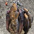 ⌘⌘金色の鹿⌘⌘さんの宮城県多賀城市でのアイナメの釣果写真