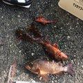 タマさんの神奈川県藤沢市でのカサゴの釣果写真