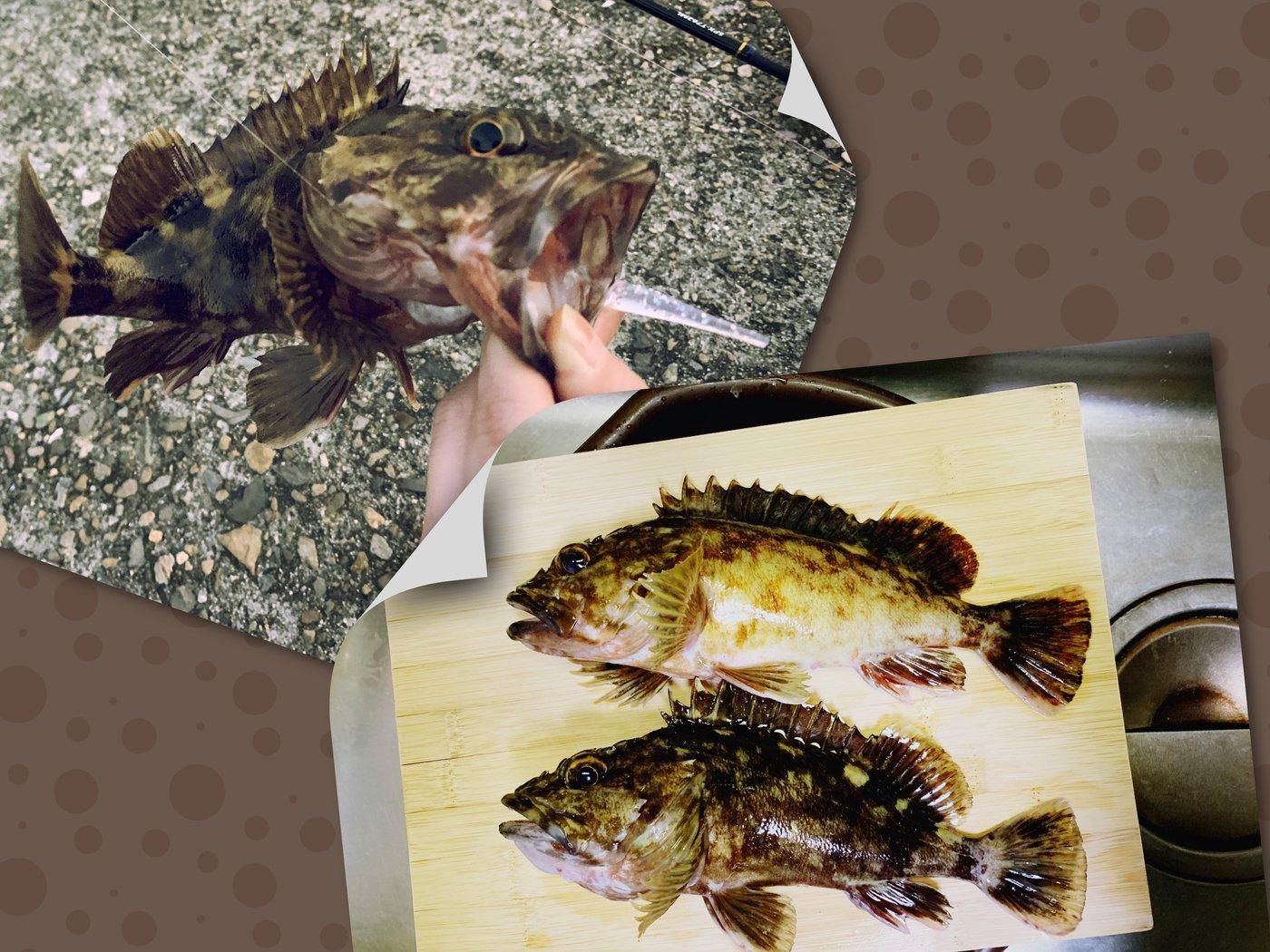 N 🎣👧🏻さんの投稿画像,写っている魚はカサゴ