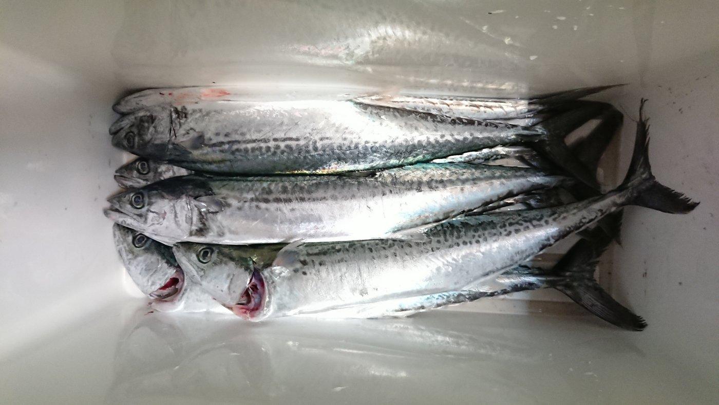 釣りバカさんの投稿画像,写っている魚はサワラ