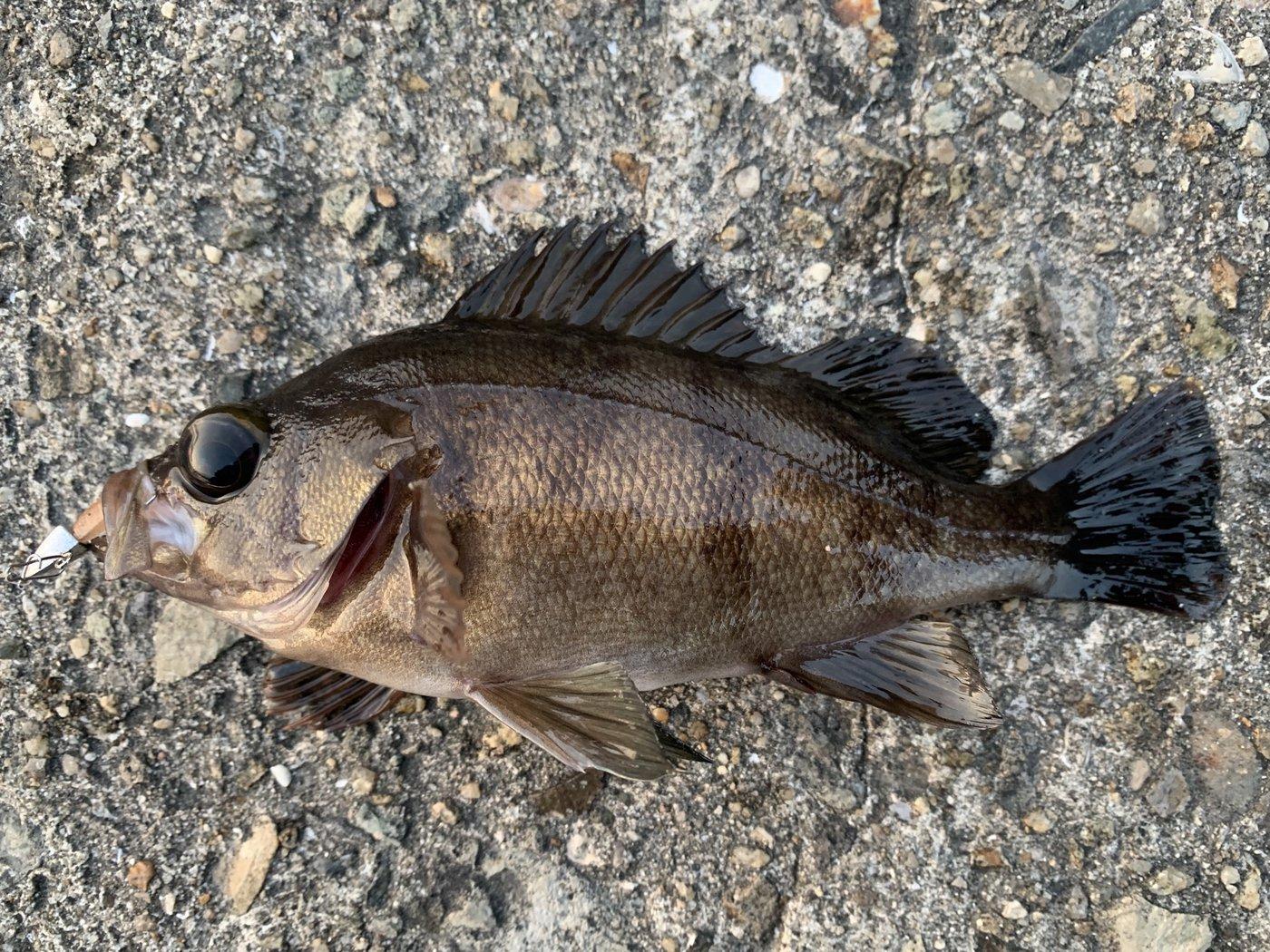 竜王さんの投稿画像,写っている魚はメバル