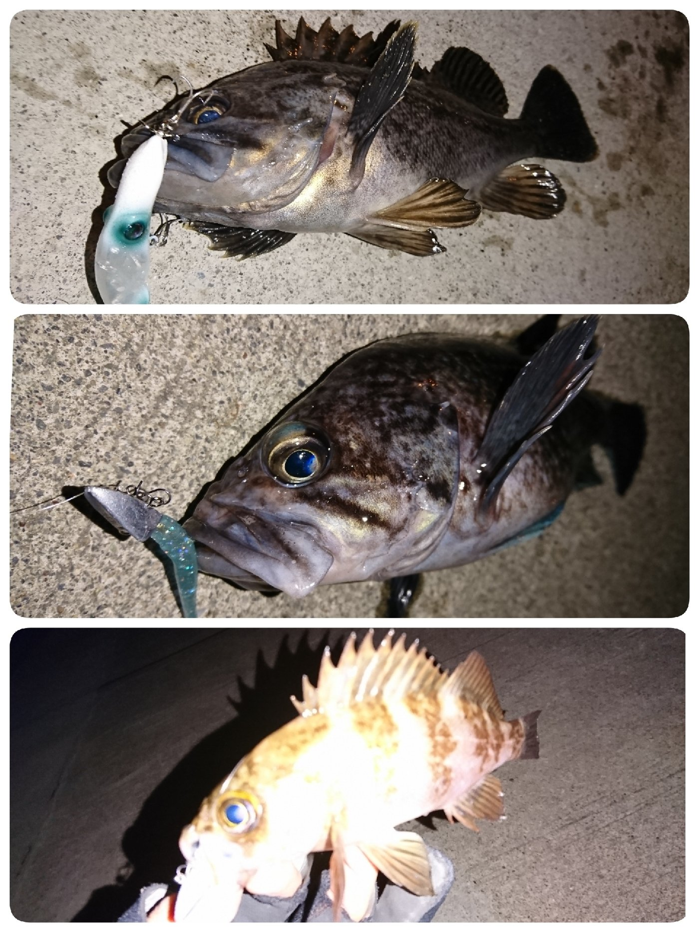 けいさんの投稿画像,写っている魚はキツネメバル,クロソイ,メバル