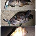 けいさんの岩手県釜石市でのキツネメバルの釣果写真