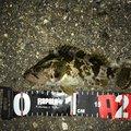 陸軍KO-1さんの三重県四日市市でのタケノコメバルの釣果写真