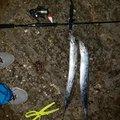 ズッキンさんの沖縄県うるま市での釣果写真