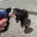 はなぶささんの兵庫県明石市でのカサゴの釣果写真