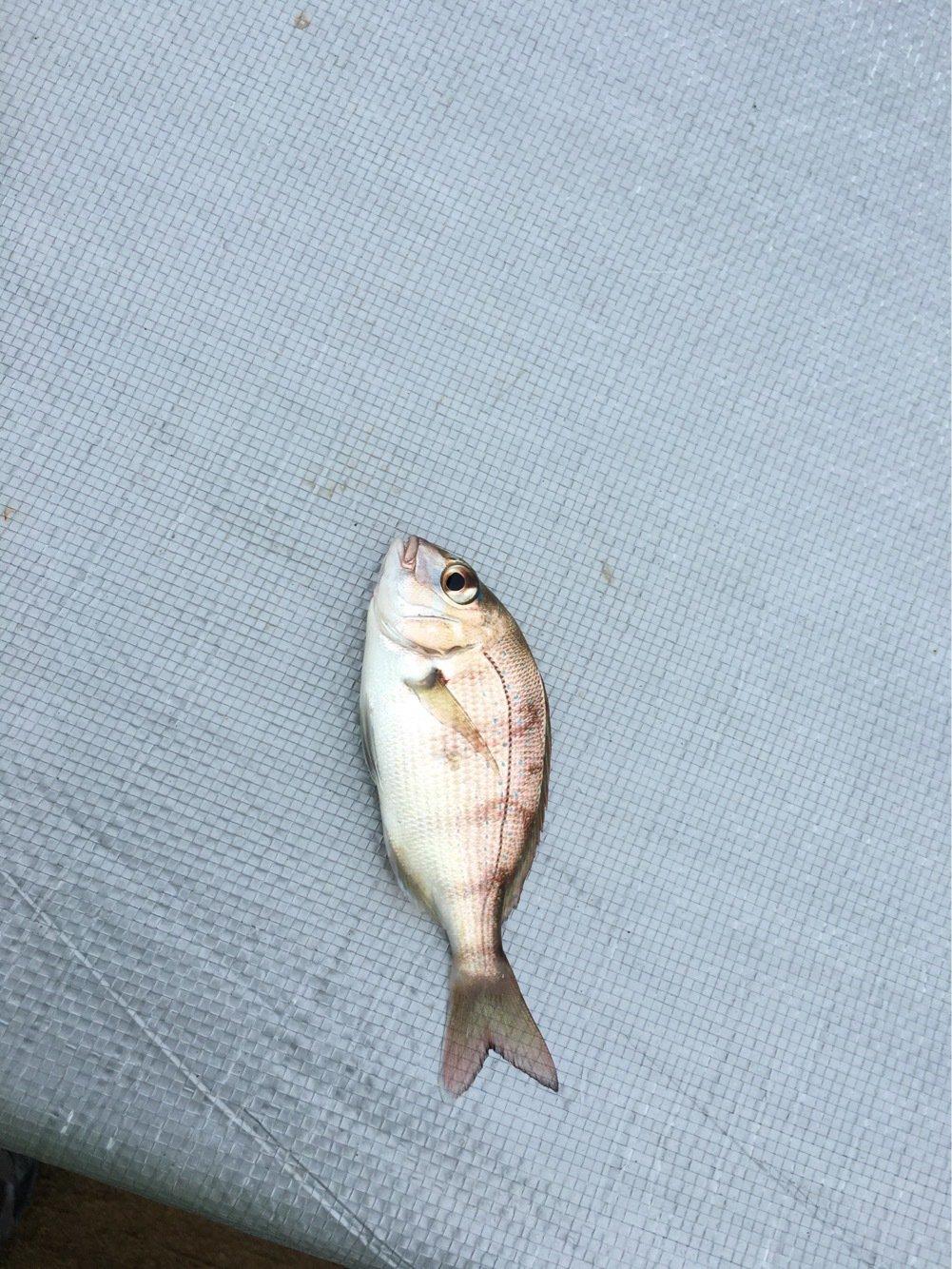 KINGさんの投稿画像,写っている魚はマダイ