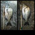 孤高の南国アングラーさんのクロダイの釣果写真