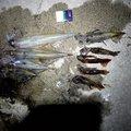 サドガシマンさんのスルメイカの釣果写真
