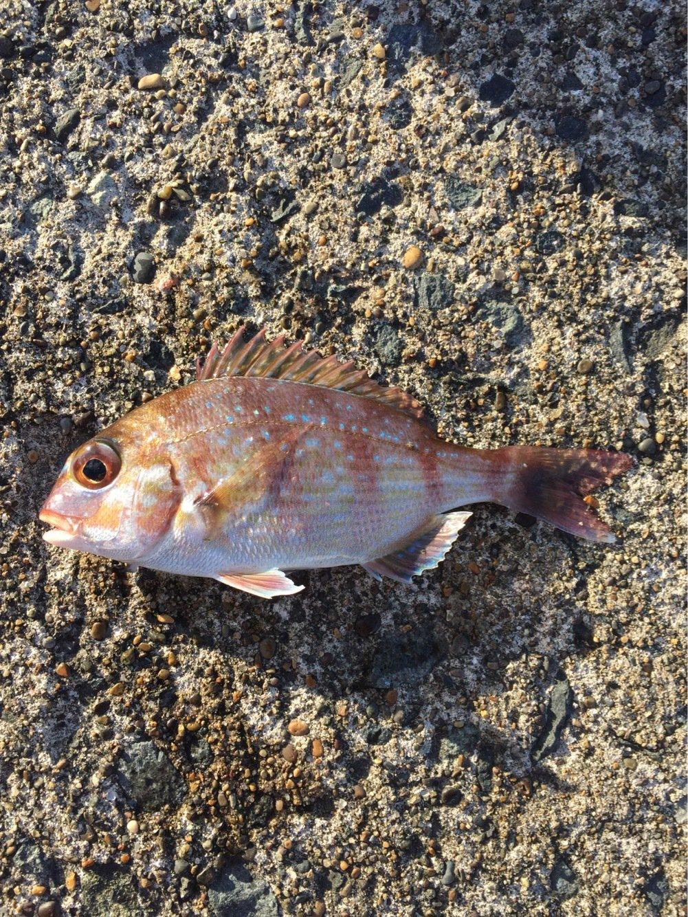 つりすけぽんさんの投稿画像,写っている魚はマダイ