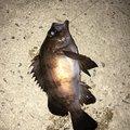ranpootanさんの兵庫県尼崎市での釣果写真