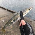 み様さんの千葉県鴨川市での釣果写真