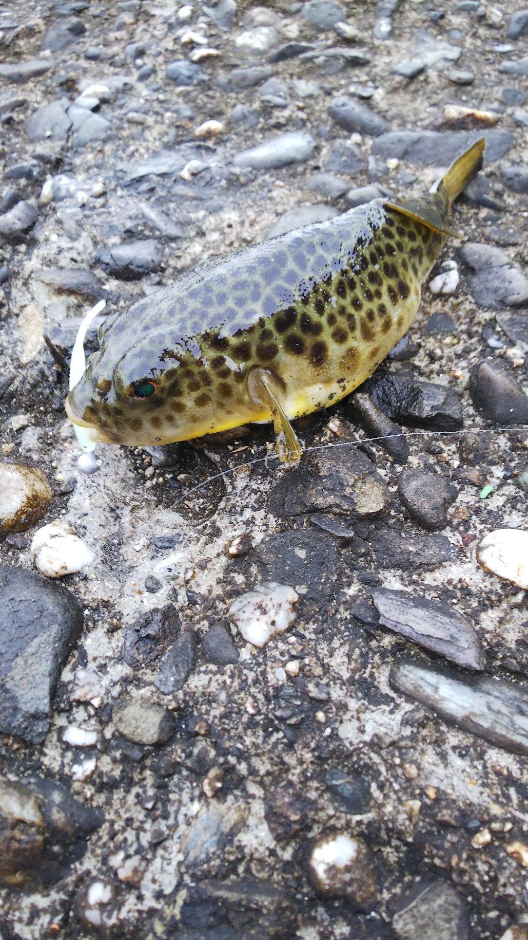 AC釣り倶楽部さんの投稿画像,写っている魚は