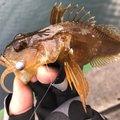 カサゴニゴさんの大分県佐伯市での釣果写真