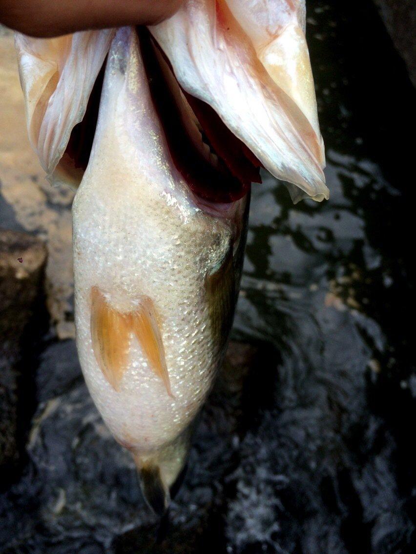 ヤッシー@億万釣者さんの投稿画像,写っている魚はブラックバス