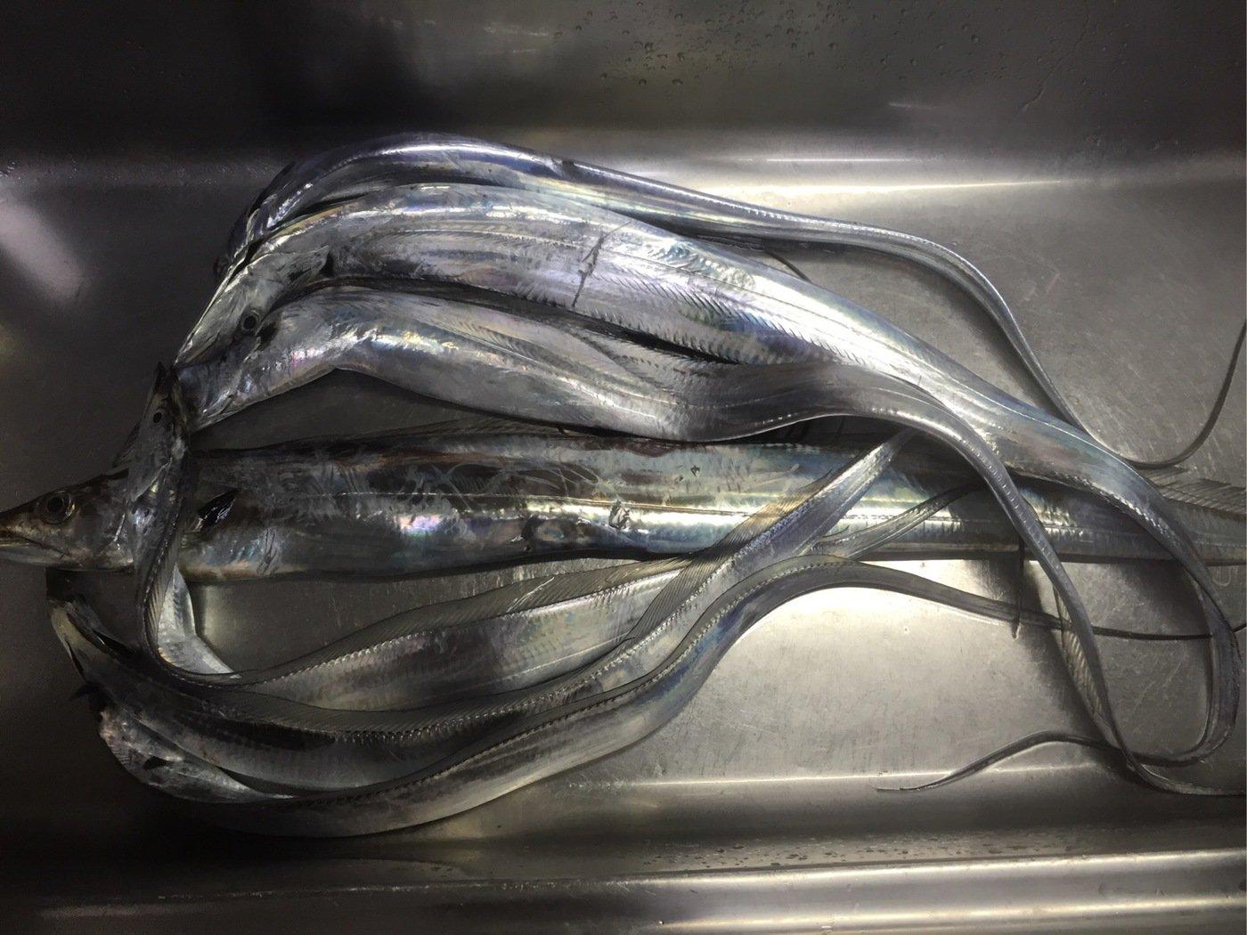 まえださんの投稿画像,写っている魚はタチウオ