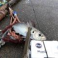 都さんさんの千葉県鴨川市でのアジの釣果写真