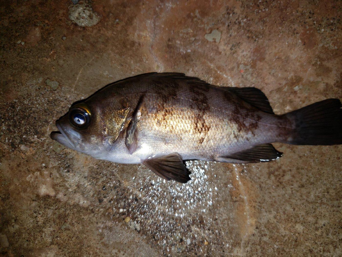 スジカイさんの投稿画像,写っている魚はメバル