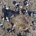 atsukataさんの愛媛県伊予市でのヒラメの釣果写真