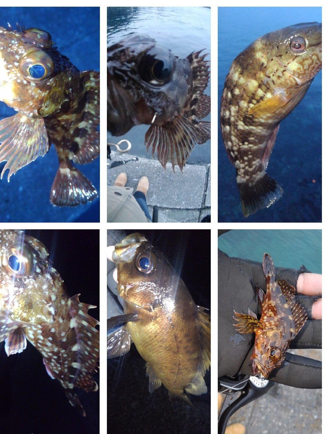 KRO さんの投稿画像,写っている魚はアカササノハベラ,メバル,カサゴ