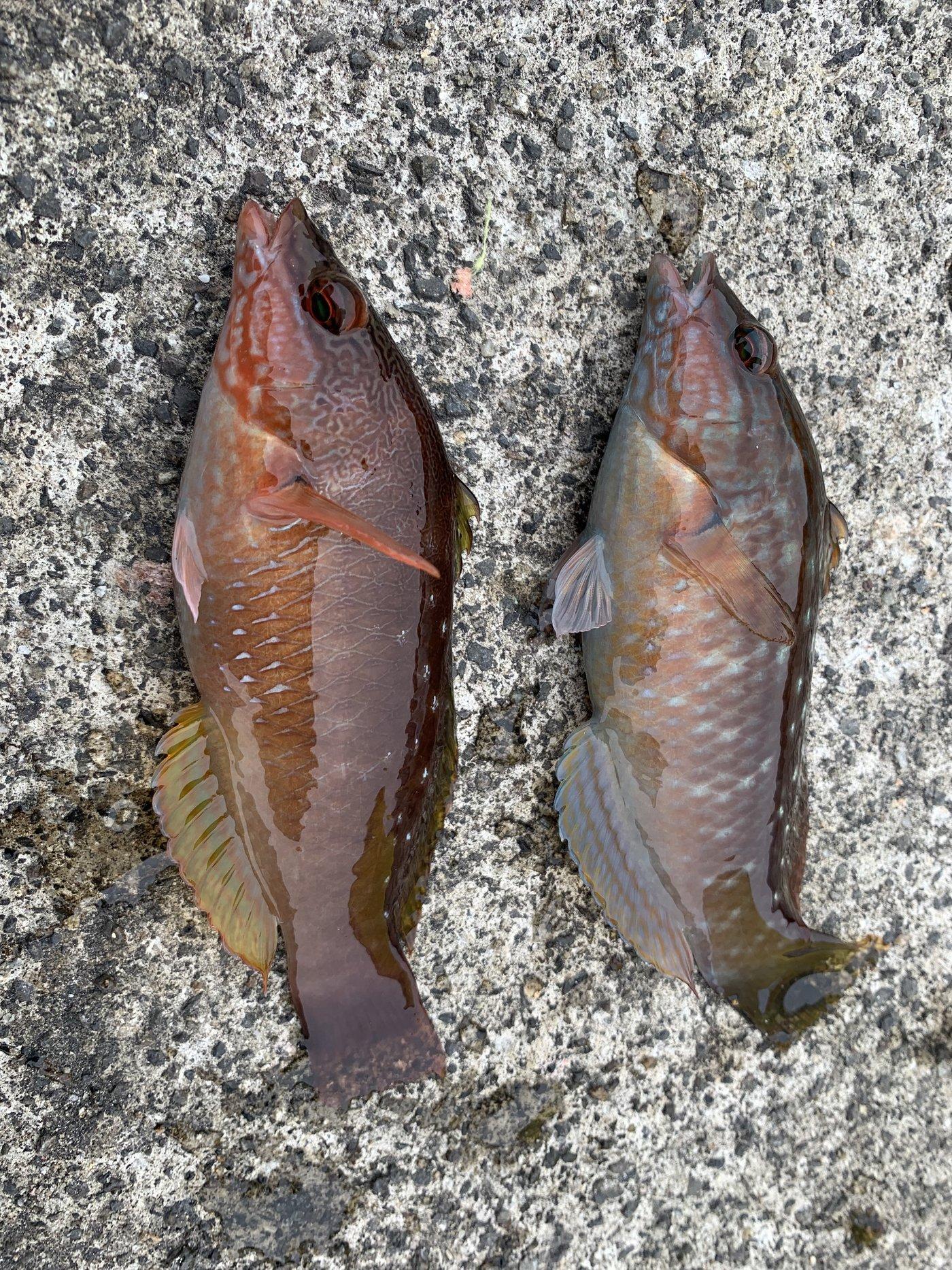 鮎川魚伸さんの投稿画像,写っている魚はキュウセン,