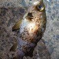 AVESHIさんの鹿児島県出水郡での釣果写真